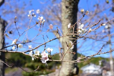 小原ふれあい公園の四季桜。