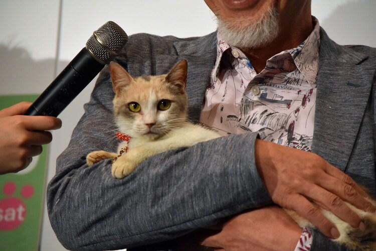 落ち着いた表情でカメラに目線をくばる三毛猫ドロップ。