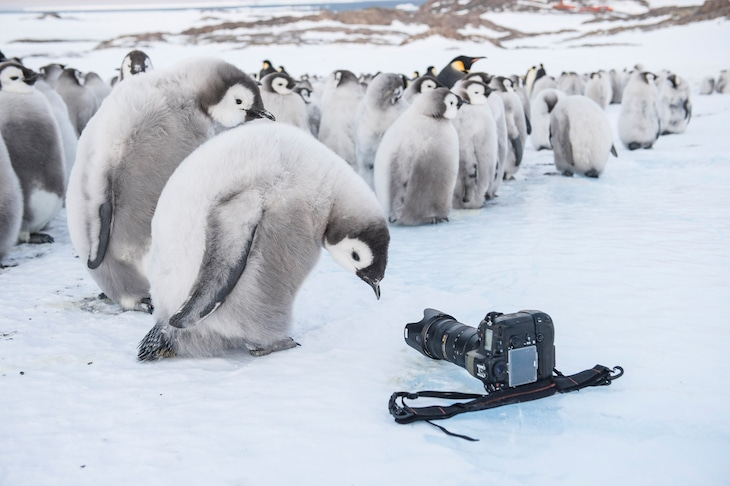 「皇帝ペンギン ただいま」 (c) Vincent Meunier