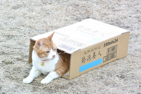 「トラさん~僕が猫になったワケ~」より、猫の金時が演じるトラさん。
