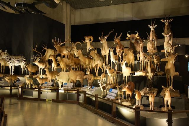 「大哺乳類展2 - みんなの生き残り作戦」の様子。