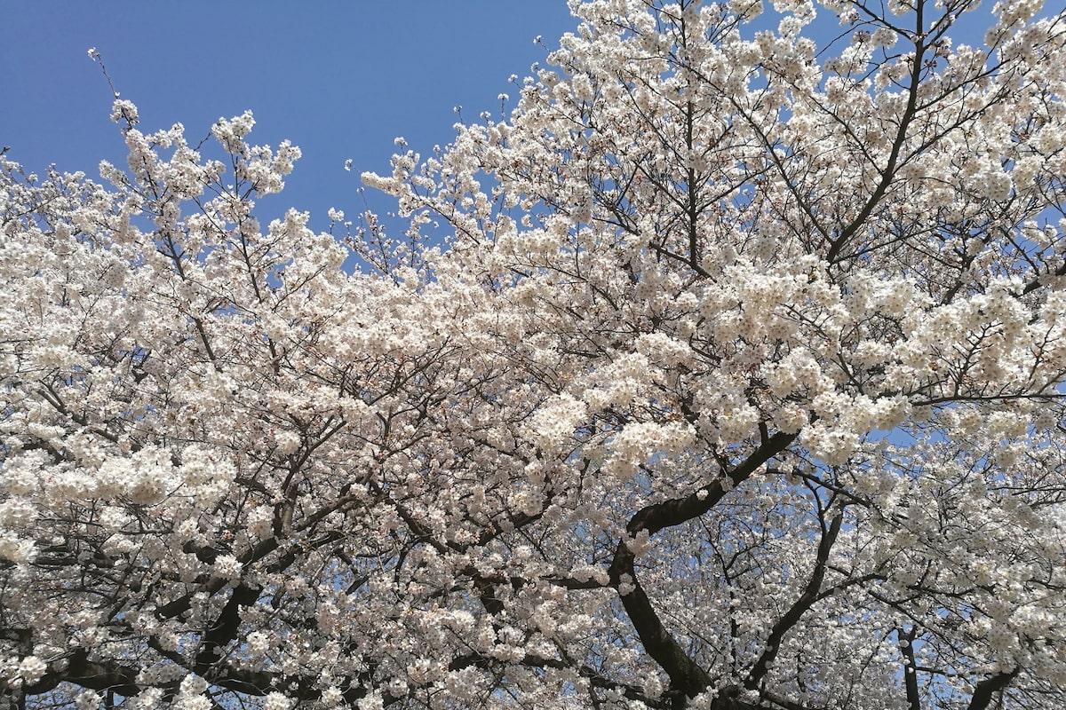 降る は 歌詞 が 桜 夜