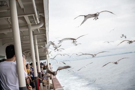佐渡汽船と並走するウミネコの群れ。
