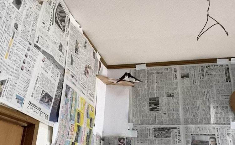 アンガールズ田中の実家に棲みついたツバメ。(c)日本テレビ