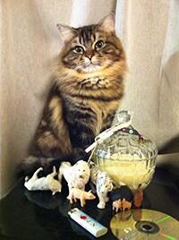 こざき亜衣の飼い猫・ズンズク(7歳・オス)。