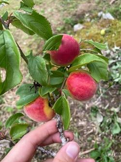 梅もぎ。今年は何もかも実がたくさん。(高木正勝)